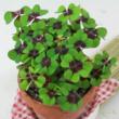 Oxalis tetraphylla / Négylevelű lóhere