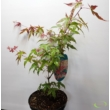 Acer palmatum Shin-deshojo