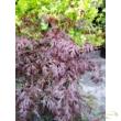 Acer palmatum Orangeola