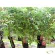 Acer palmatum Going Green