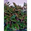 Aglaonema Crete / Vörös Aglaonema