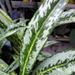 Aglaonema green