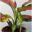 Aglaonema red