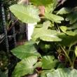 Alocasia macrorrhiza egy leveles, visszavágott növény