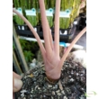 Alocasia Pink Dragon