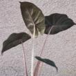 Alocasia sarawakensis Yucatan Princess