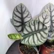 Alocasia Silver Dragon