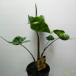 Alocasia Stingray