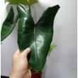 Alocasia Zebrina
