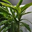 Alpinia zerumbet 'Variegata