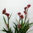 Anigozanthos beauty red