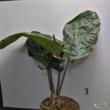 Anthurium (luxurians X radicans X dressleri)