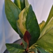 Anthurium ellipticum variegata
