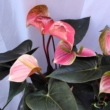Anthurium Rainbow Champion