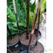 Musa balbisiana Black Thai
