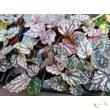 Begonia rex Dew drop