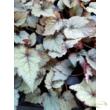 Begonia rex Maple leaf