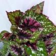 Begonia Alaska
