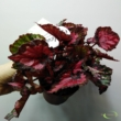 Begonia Inca Night