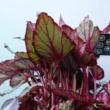 Begonia Maori Haze