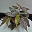Begonia Polka Dot pink