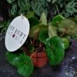 Begonia red ruby