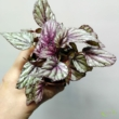 Begonia rex hugh mclaughlin