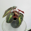 Begonia rex listada