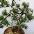 Bonsai Pinus parviflora