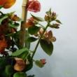 Bougainvillea narancs