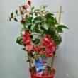 Bougainvillea piros