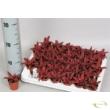 Cryptanthus bivittatus Red Star
