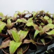Cryptanthus bivittatus Strawberry Flambe
