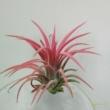 Tillandsia ionantha rózsaszín és piros
