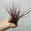Tillandsia melanocrater Red