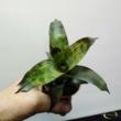 Vriesea Nova