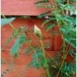 Caesalpinia gilliesii / Argentin pillangófa