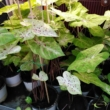 Caladium Miss Muffet