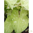 Caladium Tie-Dyed Tree Frog