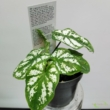Caladium green white