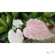 Caladium pearl blush