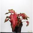 Caladium Red Ruffles