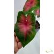 Caladium Red-Bellied Tree Frog