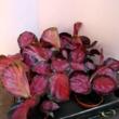 Calathea roseopicta Rosy