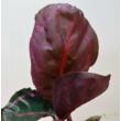 Calathea roseopicta var. illustris