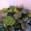 Calathea roseopicta green