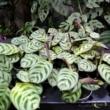 Maranta Leuconeura Amabilis Mint