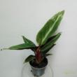 Stromanthe Triostar Sanquinea