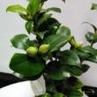 Camellia japonica Brushfields Yellow