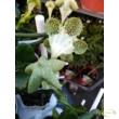 Ceropegia sandersonii / Afrikai esernyős gyertyavirág